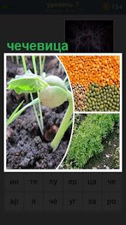 выращивание чечевицы и готовая к употреблению