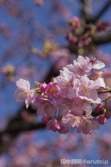 た の が 苗 原木 見つかっ 河津 桜 は の