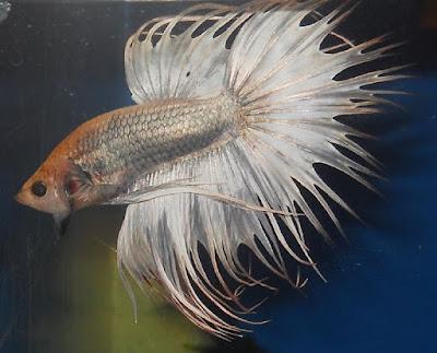 Ikan Hias Akuarium Tanpa Oksigen
