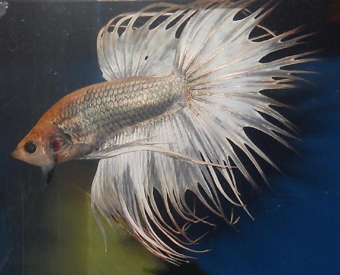 12 Jenis Ikan Hias Aquarium Tanpa Oksigen Dan Filter