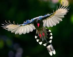 Paradisaeini é uma tribo de aves passeriformes da família Paradisaeidae