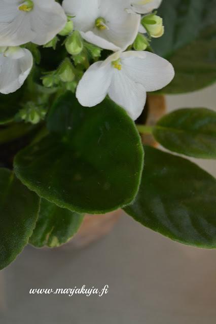 saintpaulian kukka