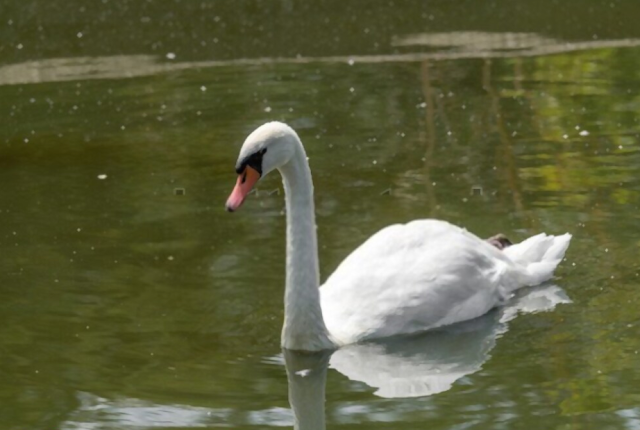 A mute swan – one of many heaviest flying birds