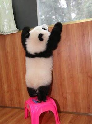 Imagen osito panda tratando de ver por la ventana