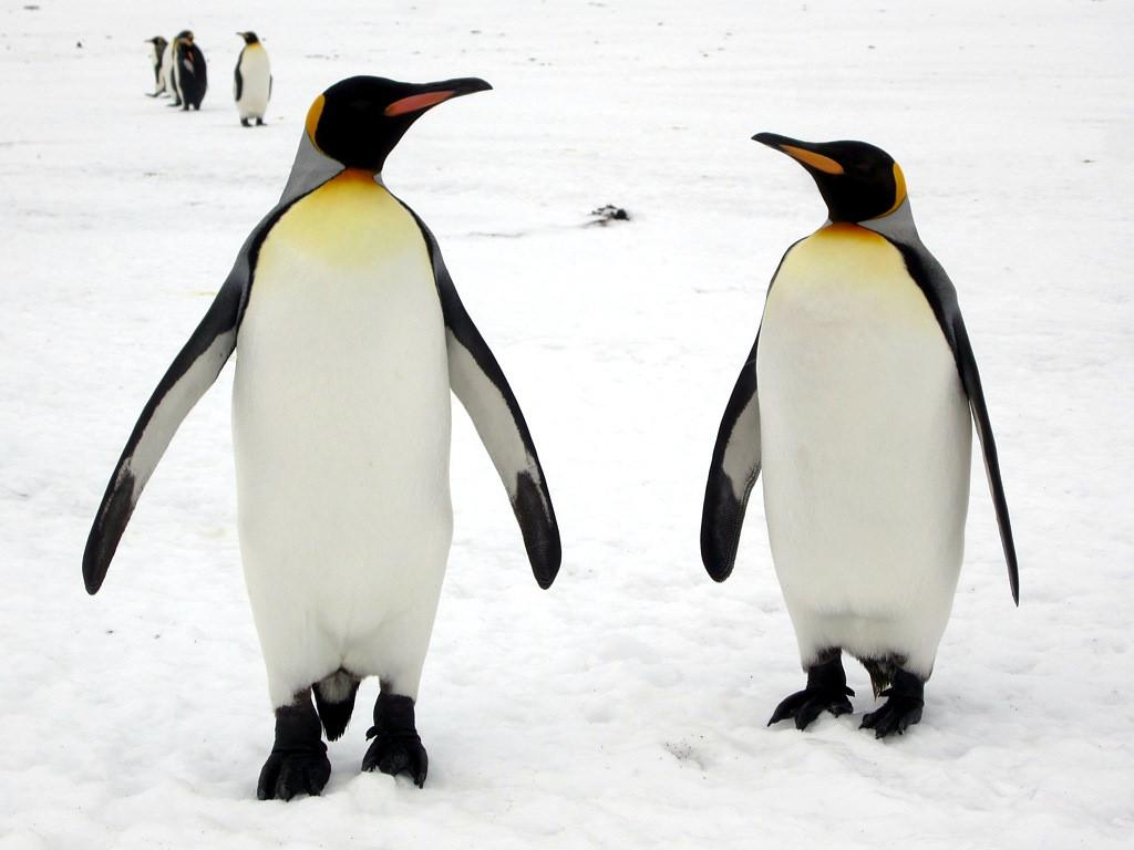 fakta penguin