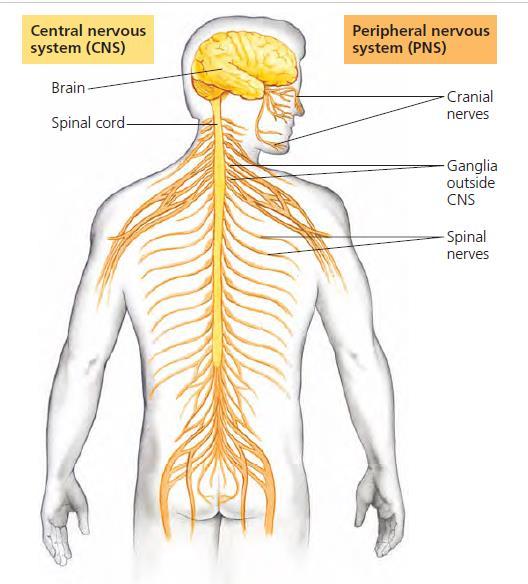 Gambar  . Sistem saraf Pusat dan system saraf tepi