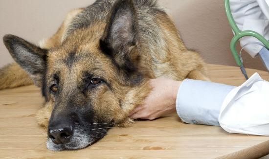 Bệnh Parvovirus ở chó