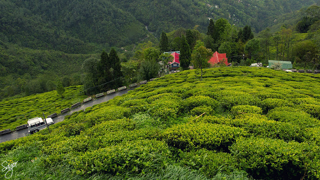 Three years after Gorkhaland agitation, Darjeeling tea set for a rebound
