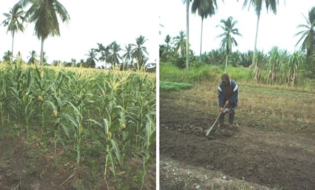 Desa Gogok Darussalam Sebuah Desa Perkebunan Pertanian Tanaman Muda di Kecamatan Tebing Tinggi Barat