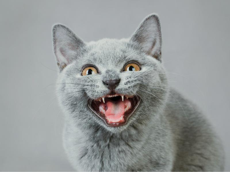 kocie zęby, kocie zęby mleczne, kot mleczaki, kot ząbkuje, kot wymiana zębów, jak dbać o kocie zęby, opieka nad kotem, kocia profilaktyka stomatologiczna, mycie kocich zębów, mycie zębów kota, kot mycie zębów, kocię uzębienie, uzębienie kota, koci behawiorysta