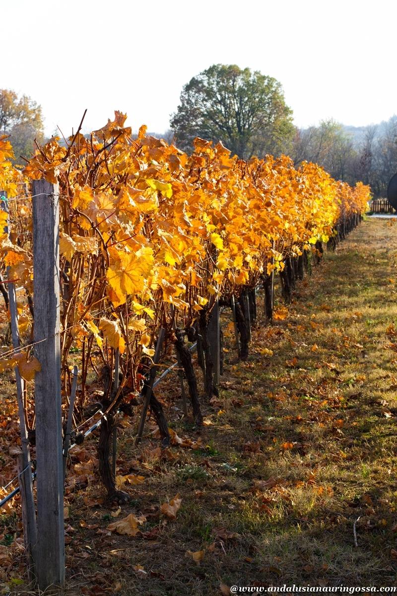 Andalusian auringossa_viinimatkalla Bulgariassa_viinitarha_Starosel