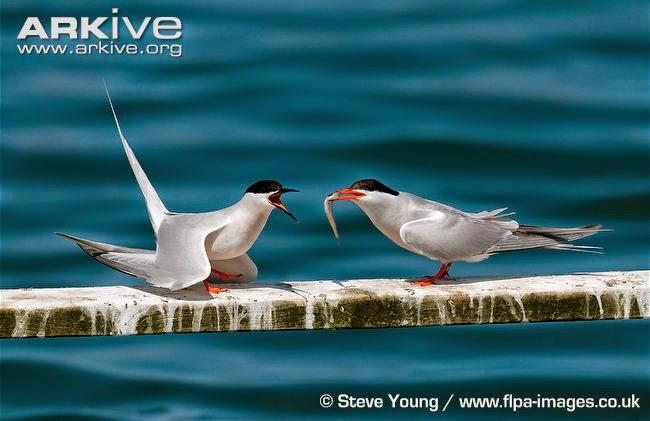 interactions between tearns Roseate tern