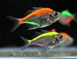 pez cristal de la India