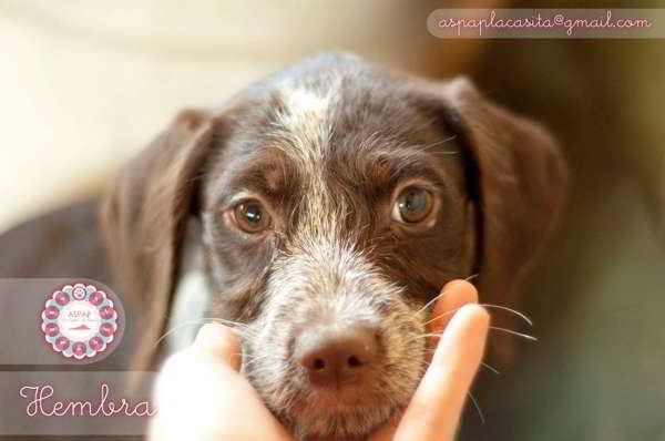 cachorros cruce perro de aguas 5