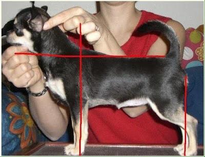 Estandar estructura del chihuahua