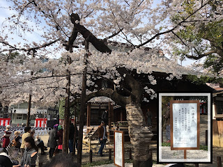 The official Someiyoshino cherry tree at Yasukuni Shrine with the explanatory signboard inset