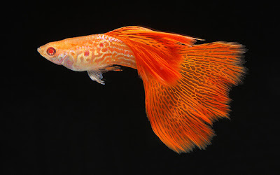 Ikan Guppy Albino Red Lace
