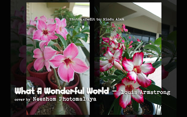 What A Wonderful World - Louis Armstrong - adeniums flower