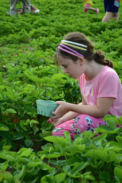 Strawberry picking, picking strawberries, field trips for kids, field trip ideas, Madison