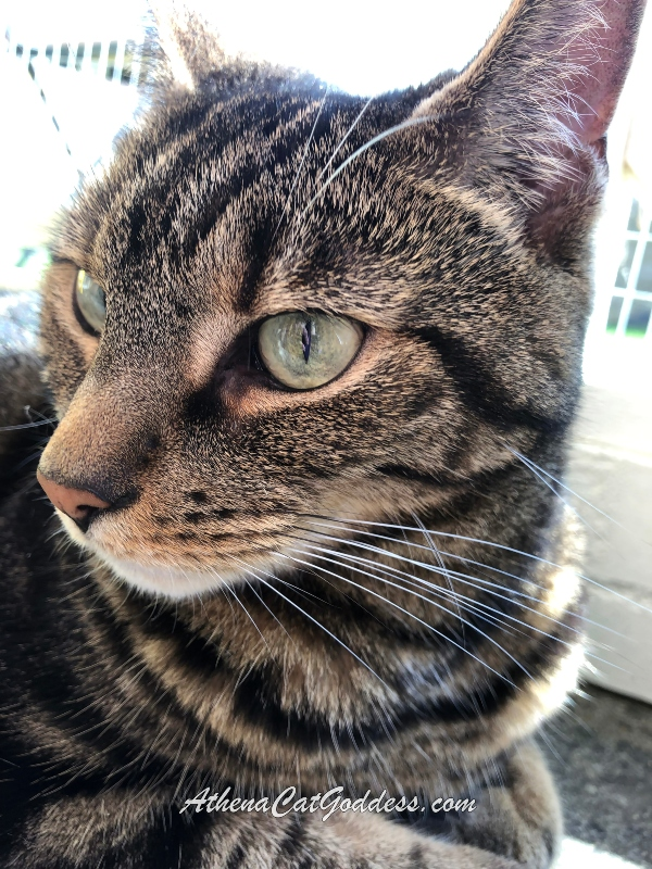 close-up of green-eyed tabby cat