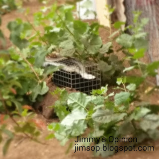 Skunk caught in live animal trap sitting in between cottonwood saplings