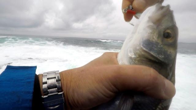 """Imagen17 - Actividad frenética en la costa """"Picadas de lubinas"""""""