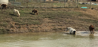 Rain rot in horses DIY herbal remedy! #horses #naturalhorsecare