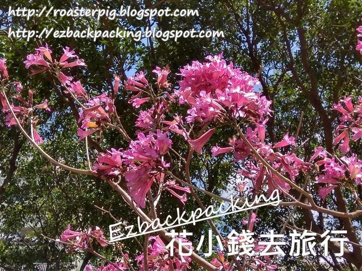 香港紫花風鈴木2021