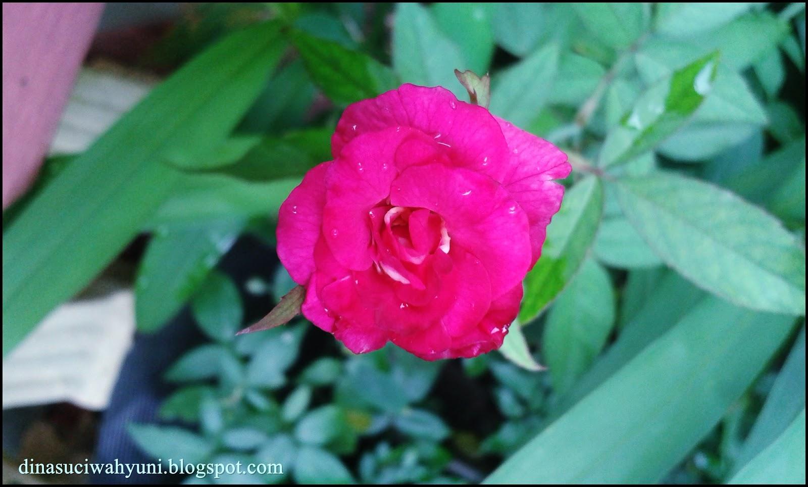Klasifikasi Ilmiah Bunga Mawar Dan Manfaat Air Mawar Untuk Kecantikan Jdsk