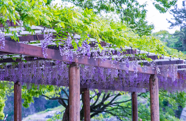 Great location for Wisteria flower