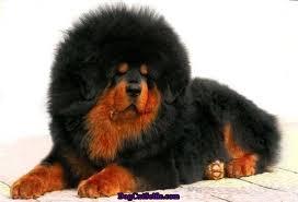 Anjing Ras Tibetan Mastiff
