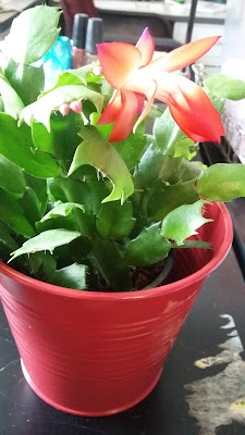 My Christmas cactus from Ikea is blooming!