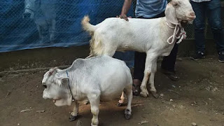 """Thousands of people in Bangladesh are defying the nationwide lockdown to see """"Dwarf Cow"""""""