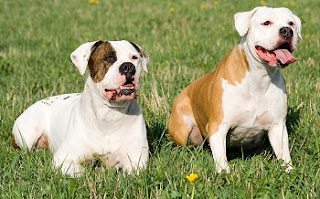 Everything about your American Bulldog