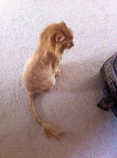 shaved-kitty-look-like-lion-king