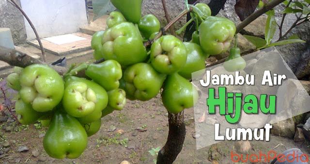 Jambu Air Hijau Lumut