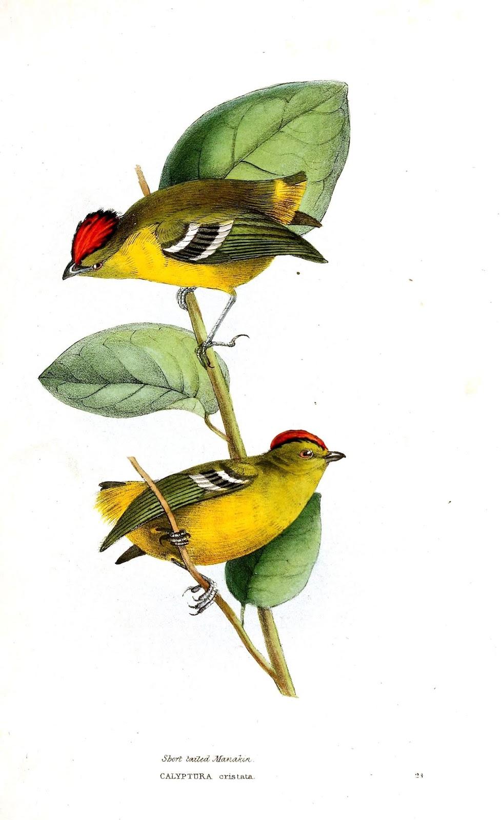 Pássaros em Imagens Vintage