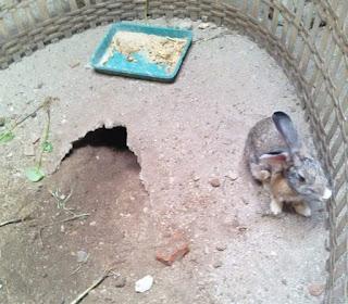 Ciri Ciri Kelinci Hamil Dilengkapi Gambar dan Penjelasannya