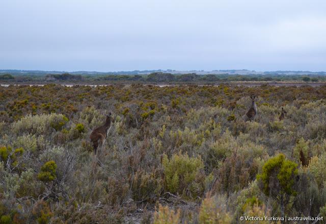 Kangaroos in Coorong National Park