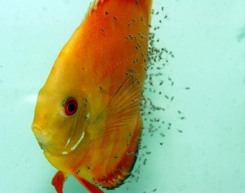 Hướng dẫn cách nuôi cá dĩa trong bể cá cảnh