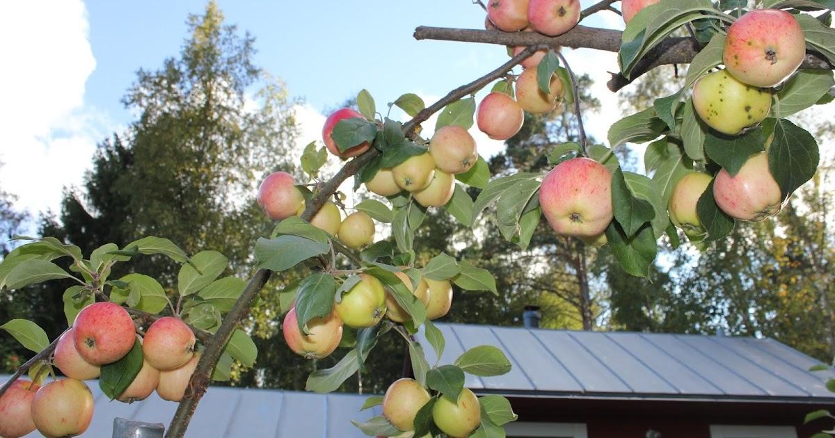 Omenan Kuivaus