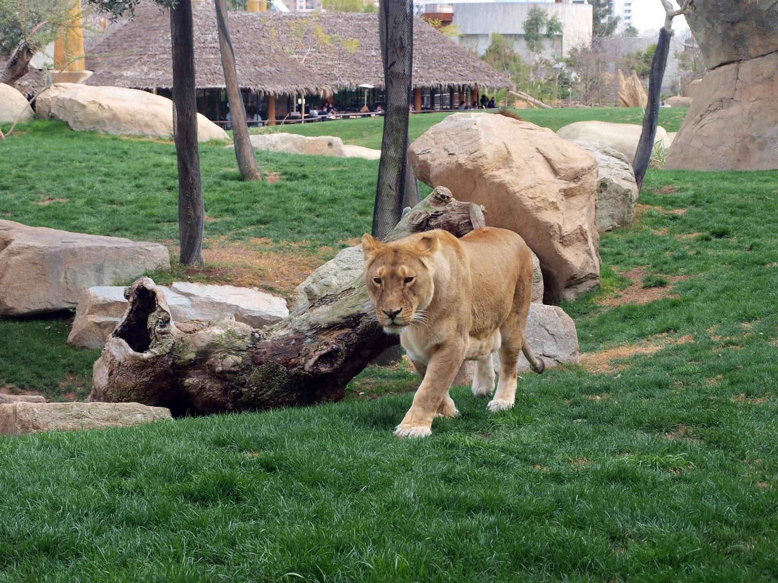 animal-big-cat-grass-lion,lion images
