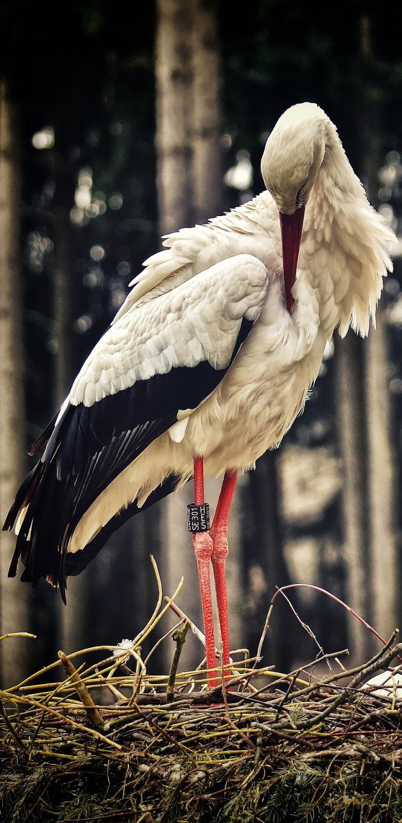 A stork preening.