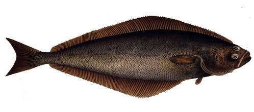 What is the largest flatfish species?