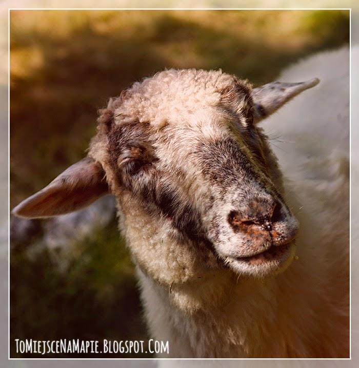 owca, podhale, zakopane, tatry