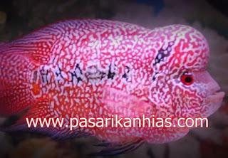 Type Ikan Hias Louhan indonesia Cencu