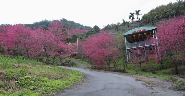 台中新社|新社白毛台櫻花林|上千棵櫻花樹的步道|新社賞櫻秘境