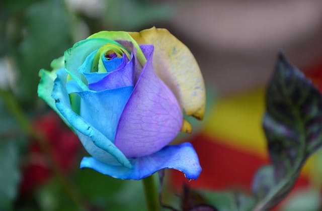 wallpaper setangkai bunga mawar pelangi indah