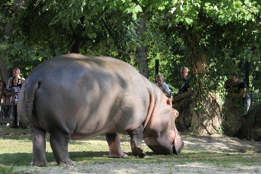 hroch v zoologické zahradě Schönbrunn