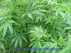 Cannabis Sativa, Hamp